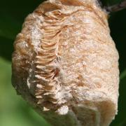 Praying Mantis eggcase