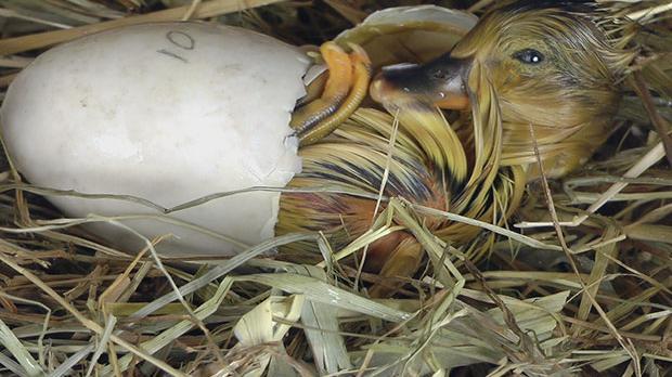 Duck Imprinting Experiment Duck   a Lasting Imprint